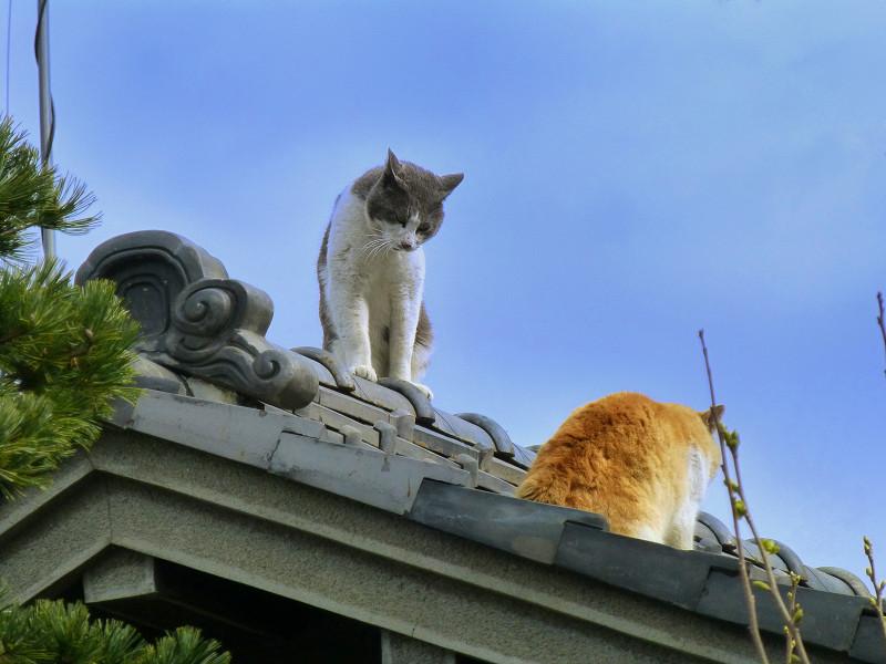 屋根の上のグレー白と茶白1