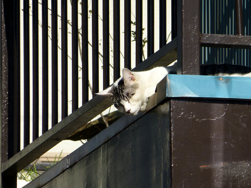 物干し台のグレー白猫1