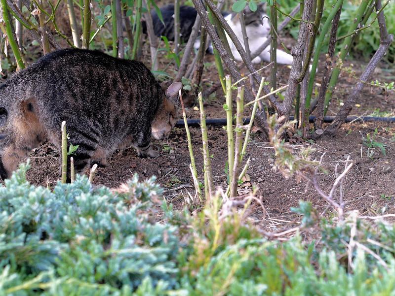 公園の土を掘るキジトラ猫2
