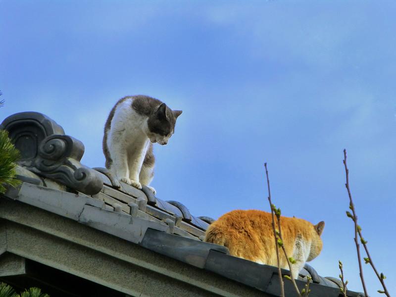 屋根の上のグレー白と茶白2