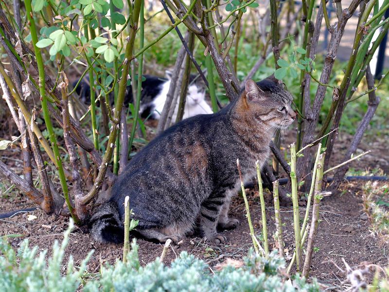 公園の土を掘るキジトラ猫3