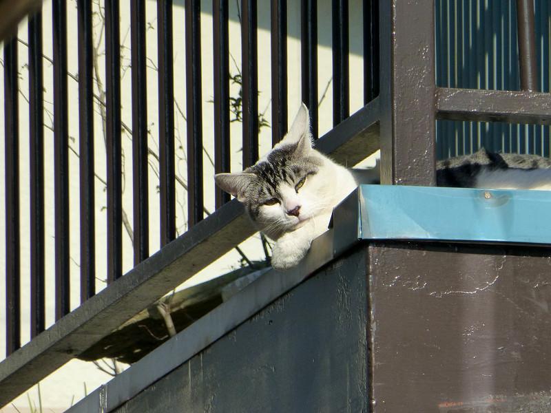 物干し台のグレー白猫3