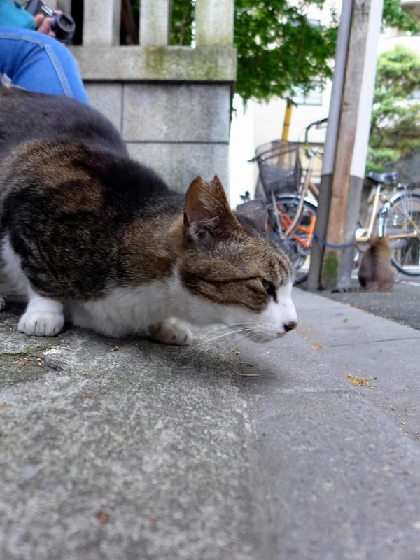 腰をトントンキジ白猫1