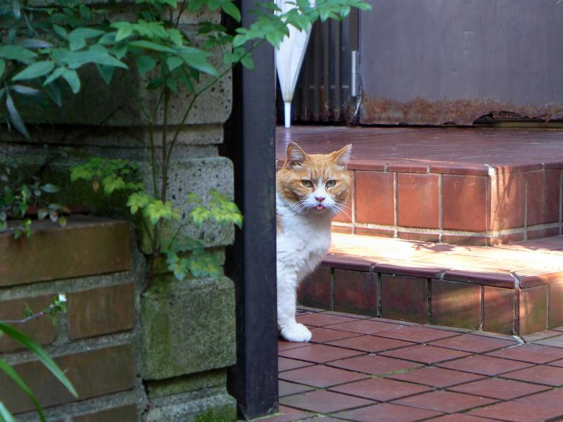 玄関先の茶白猫