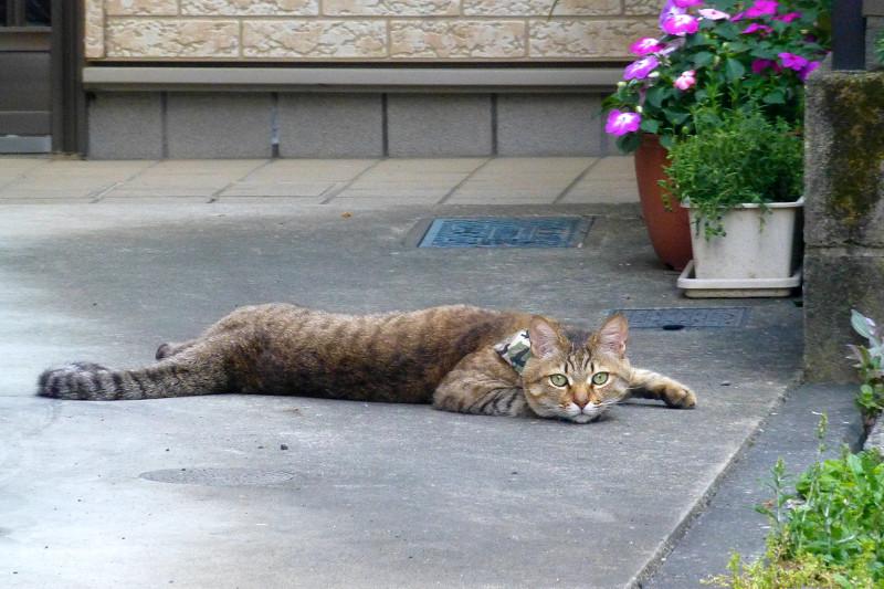 寝そべってるキジトラ猫