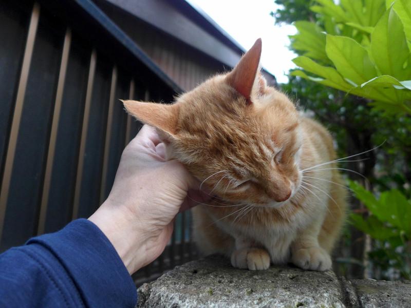 門扉で触られる茶トラ猫3