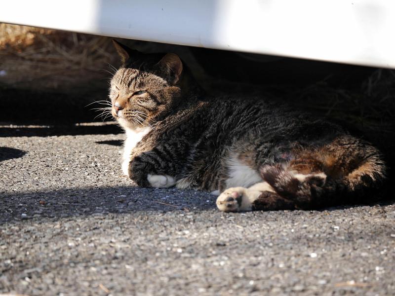 車の下のキジ白猫