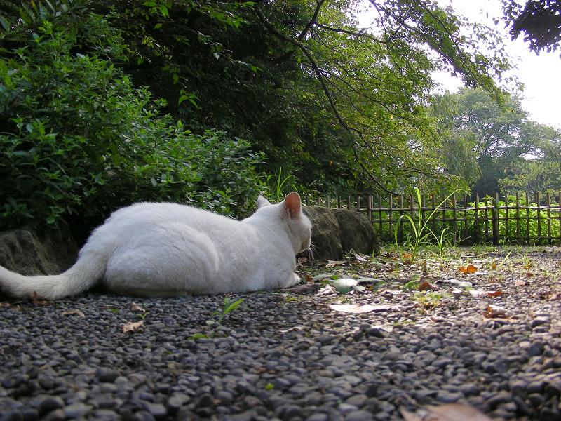 尻尾を上げる白猫1