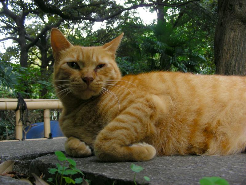 岩の上の茶トラ猫1