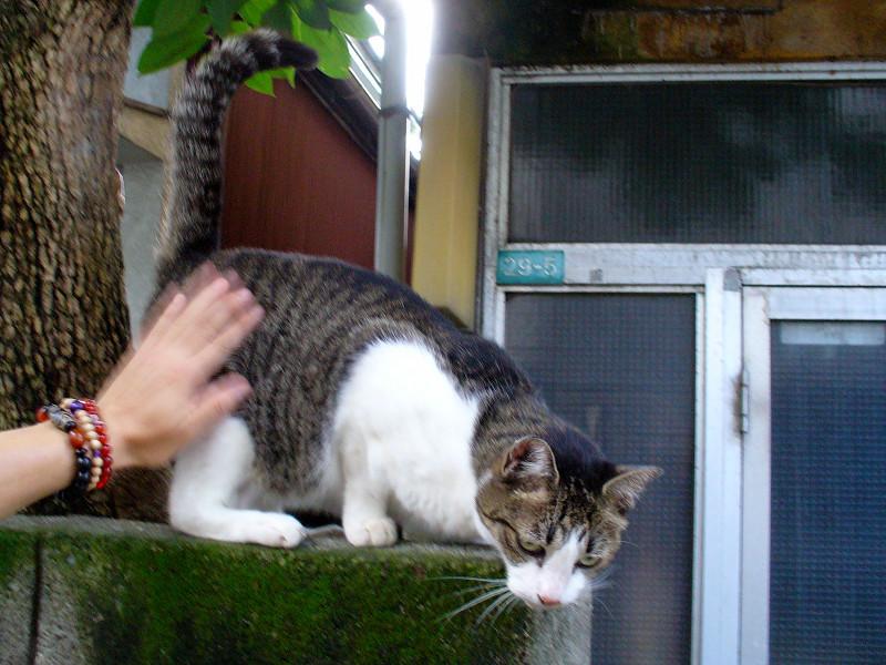 ブロック塀で触られるキジ白猫1