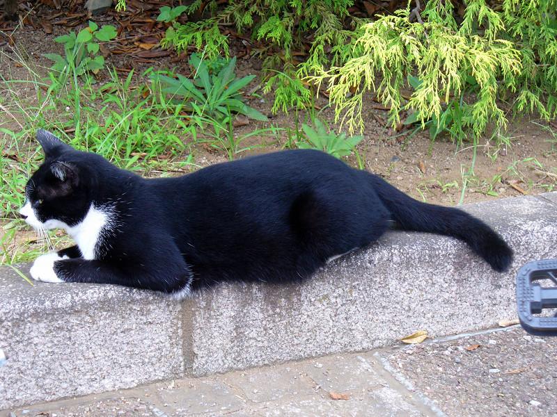 縁石に腹ばう黒白猫1