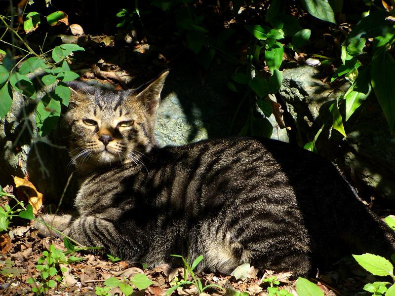 木漏れ日とキジトラ猫1