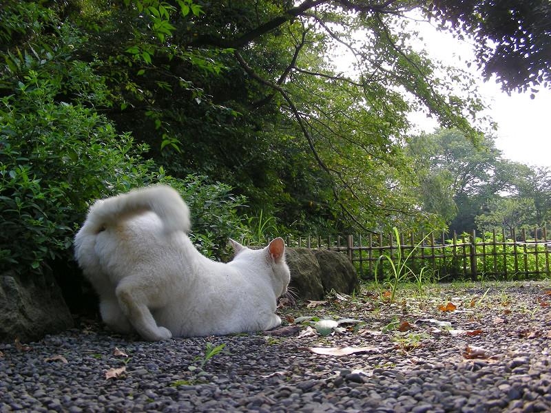 尻尾を上げる白猫2
