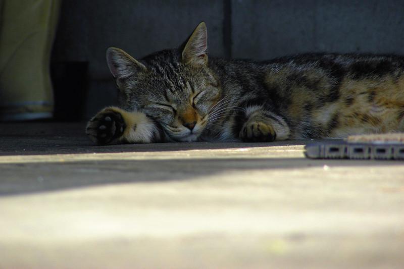 熟睡中のキジ白猫2