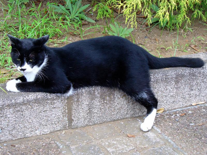 縁石に腹ばう黒白猫2