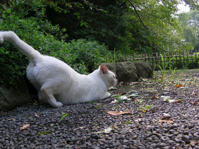 尻尾を上げる白猫3