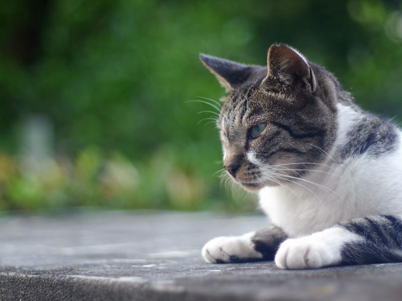 眠たそうなキジ白猫1