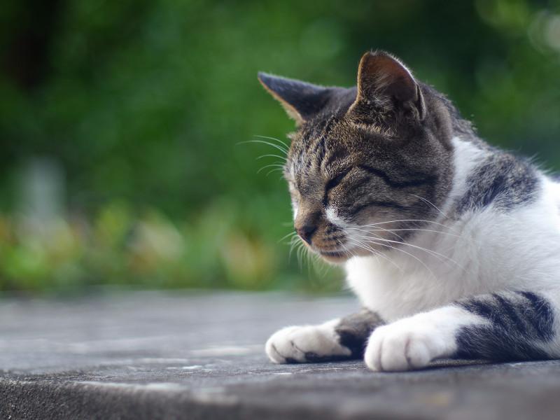 眠たそうなキジ白猫2