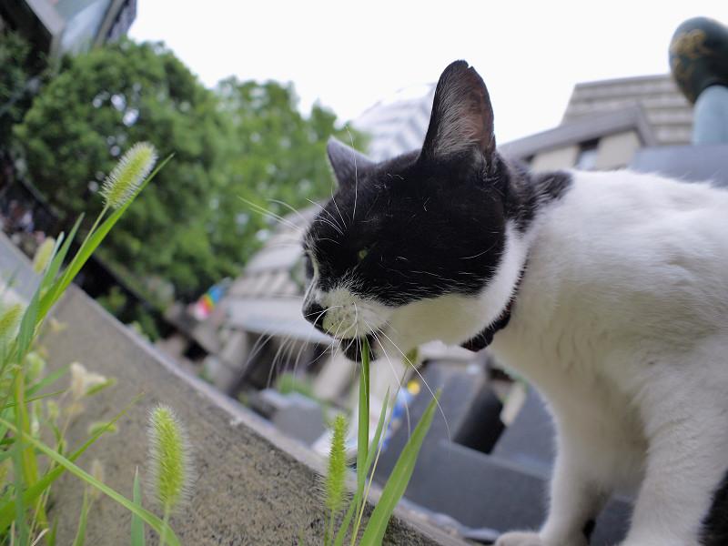 エノコロ草を食べる白黒猫1