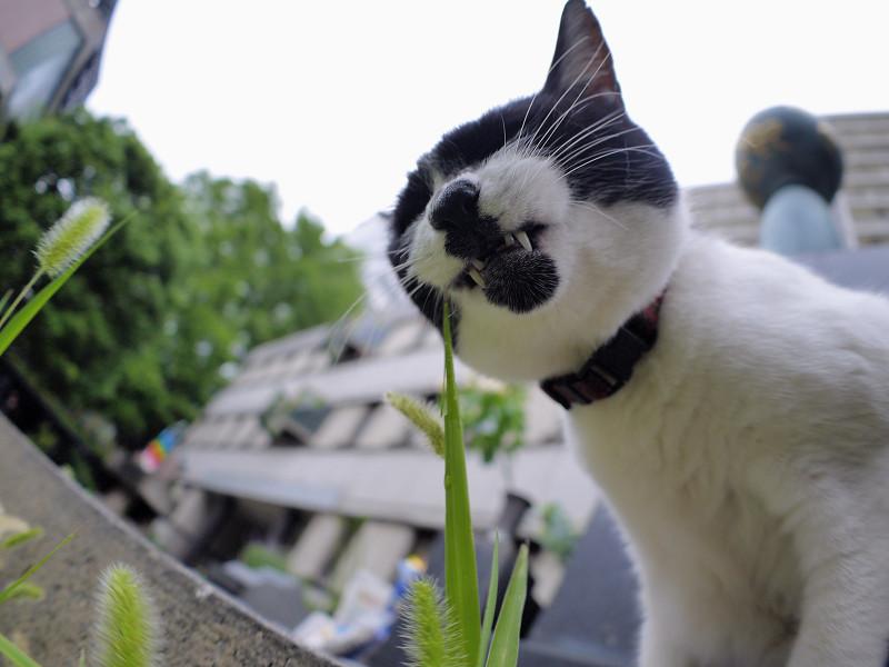 エノコロ草を食べる白黒猫2