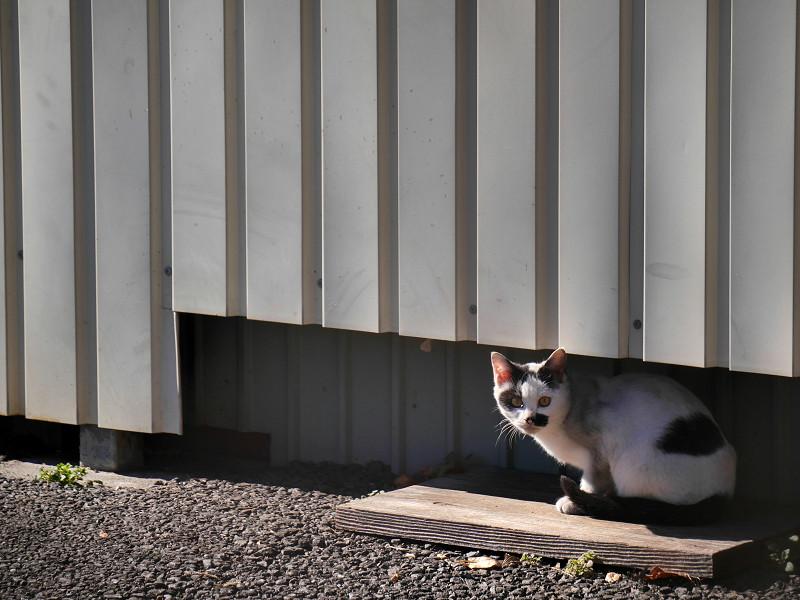 壁の下の白黒猫1