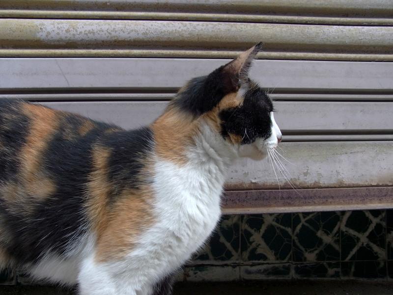 無視してる三毛猫1