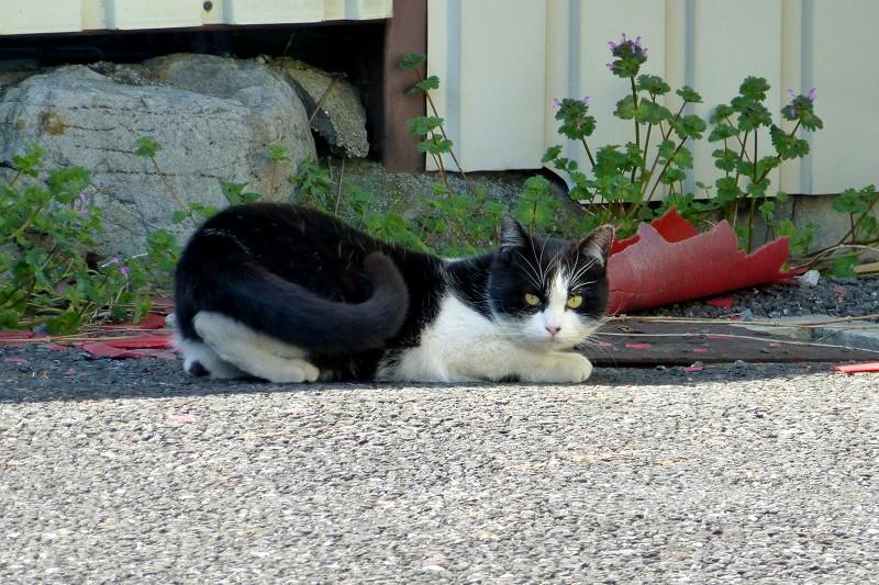 駐車場で嗅いでる黒白猫2