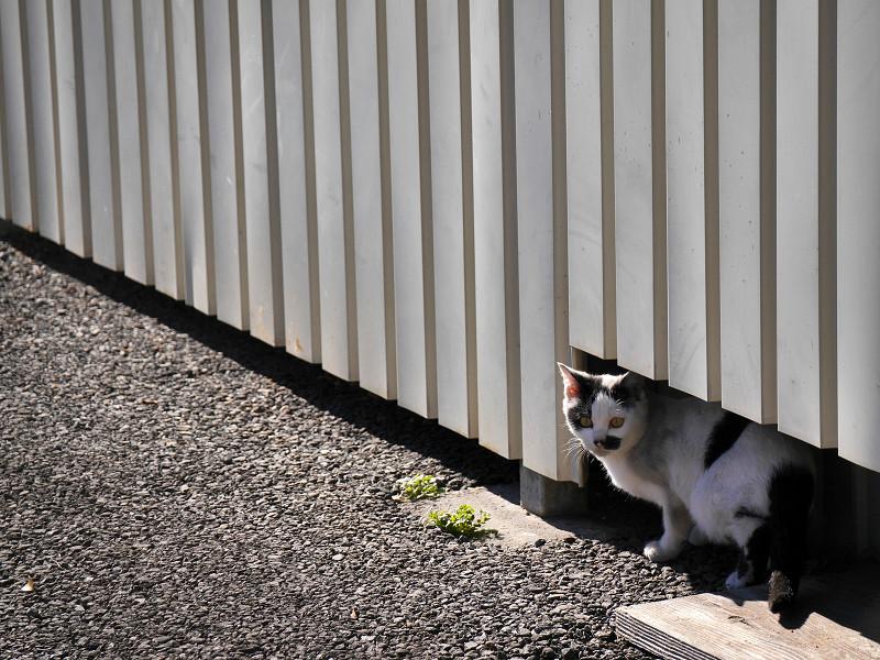 壁の下の白黒猫2