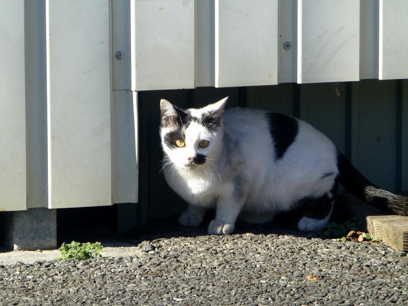 壁の下の白黒猫3