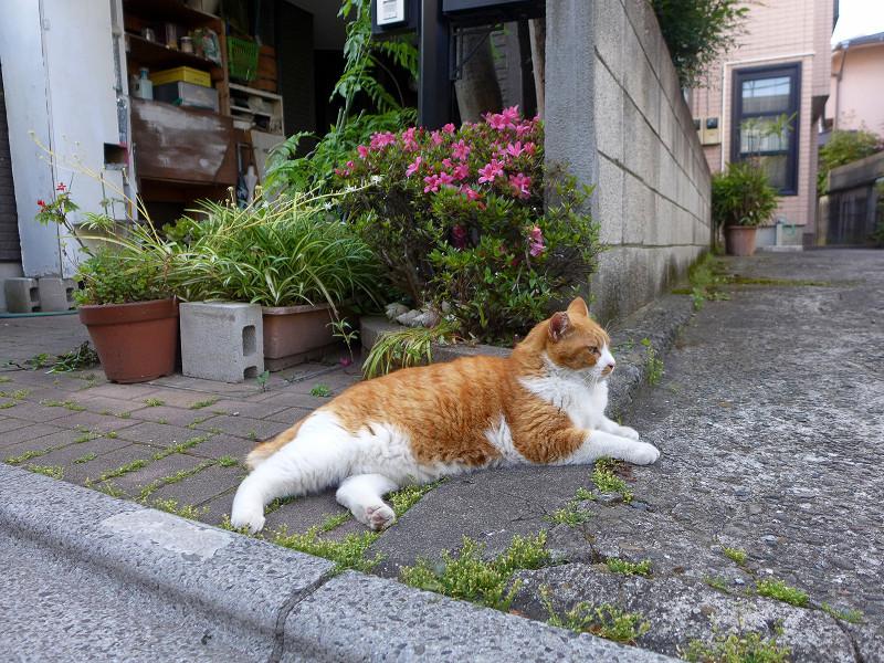 民家前の不愉快茶白猫1