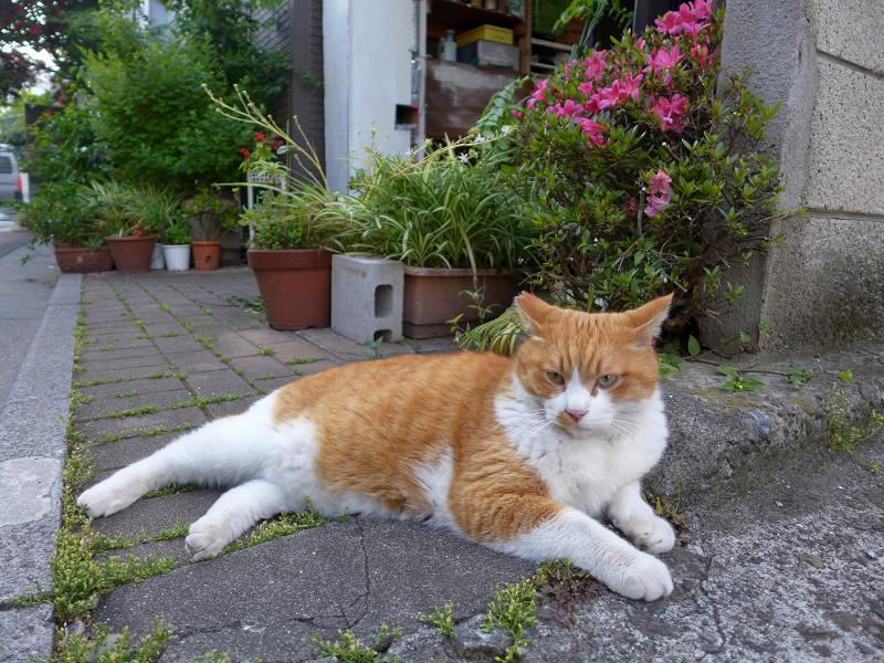 民家前の不愉快茶白猫2