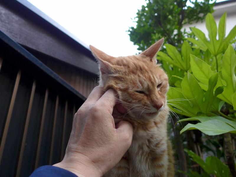 頬を触られる茶トラ猫2