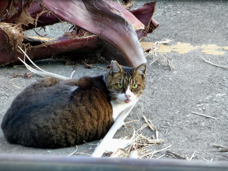 ヤシの木の皮とキジ白猫2