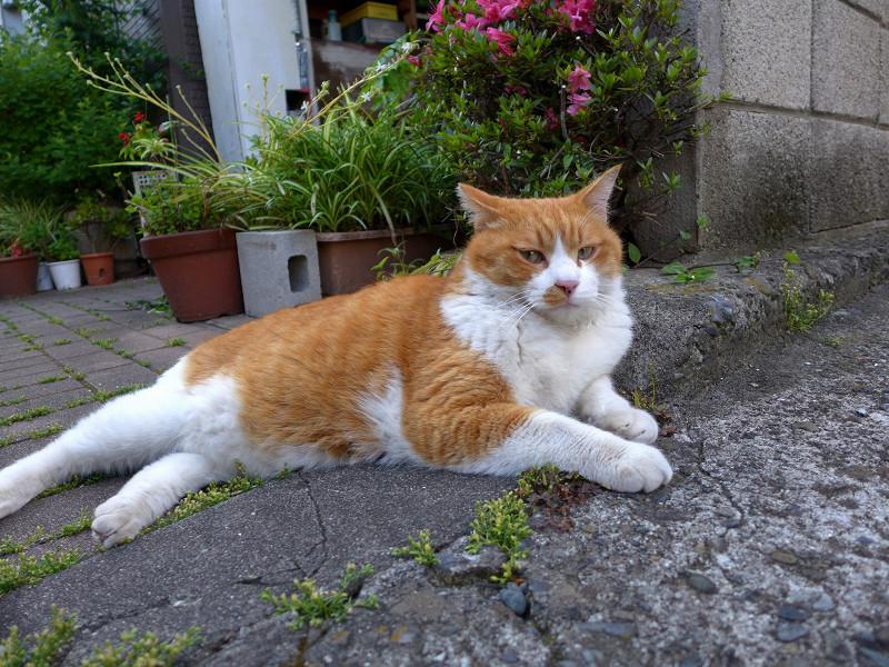 民家前の不愉快茶白猫3
