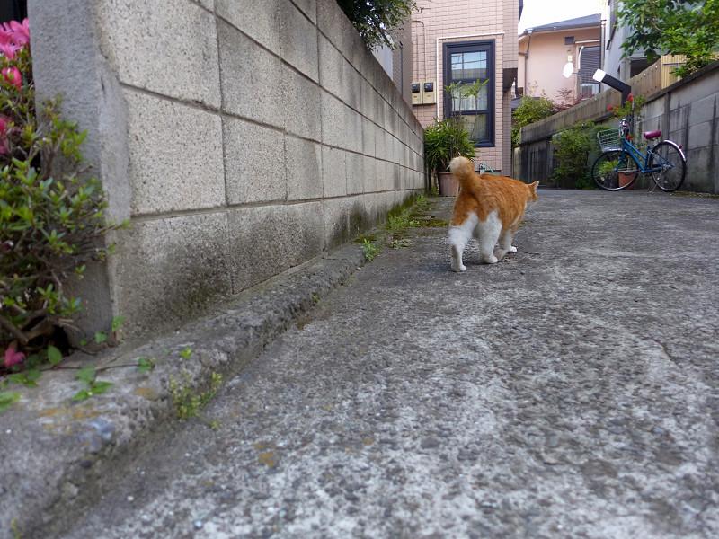 民家前の不愉快茶白猫4