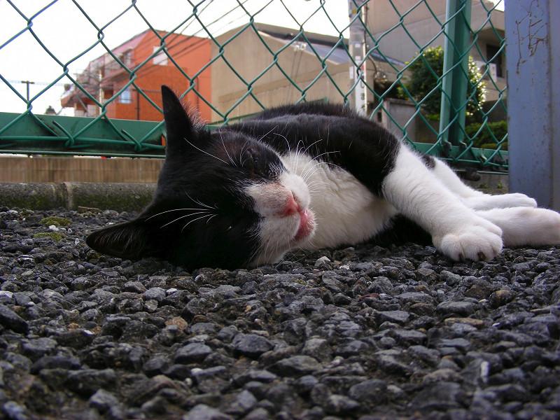 寝転がってる黒白猫1