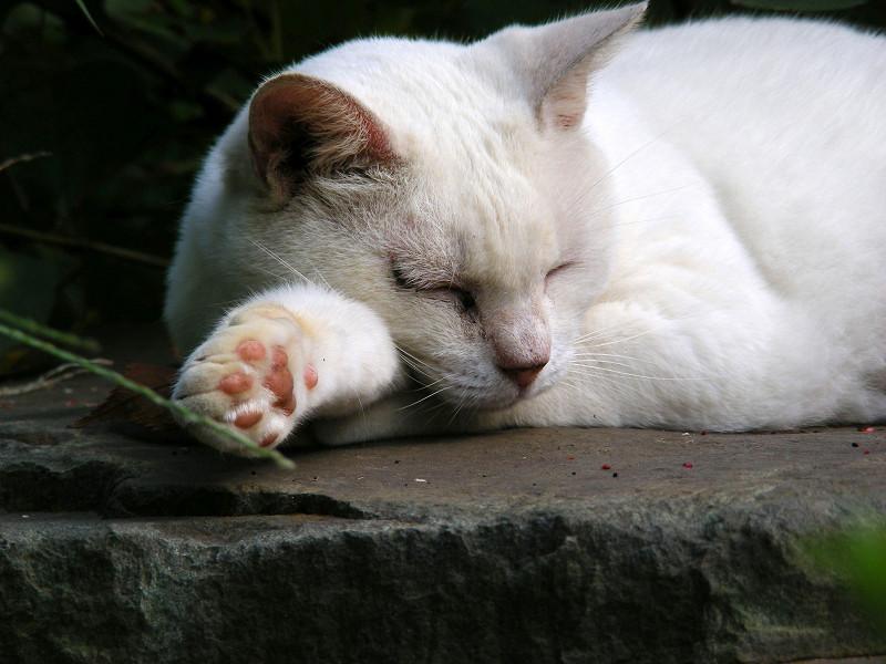腕を伸ばして寝てる白猫1