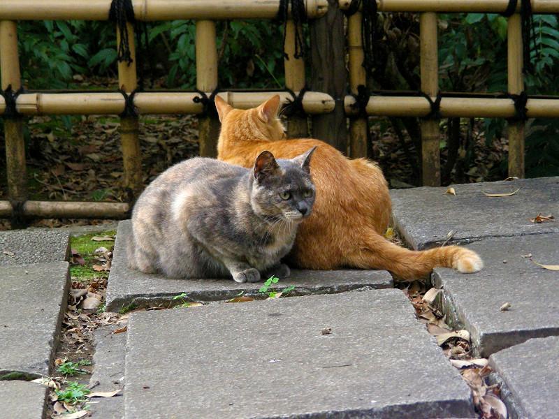 茶トラ猫と薄サビ猫1