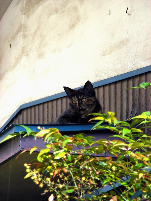 小さな庇とサビ柄猫1