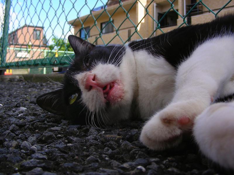 寝転がってる黒白猫2