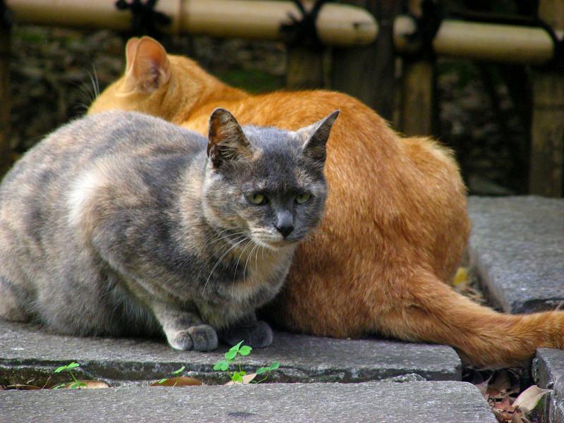 茶トラ猫と薄サビ猫2