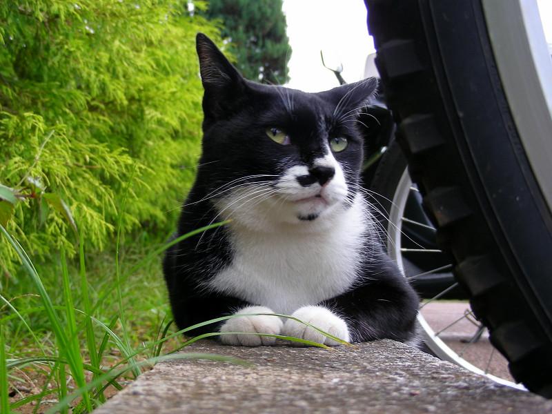 駐輪場の黒白猫2