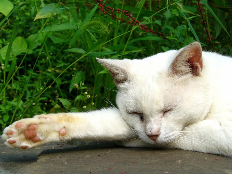 腕を伸ばして寝てる白猫2