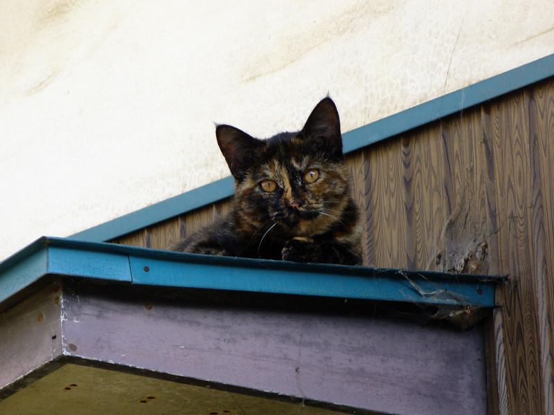 小さな庇とサビ柄猫2