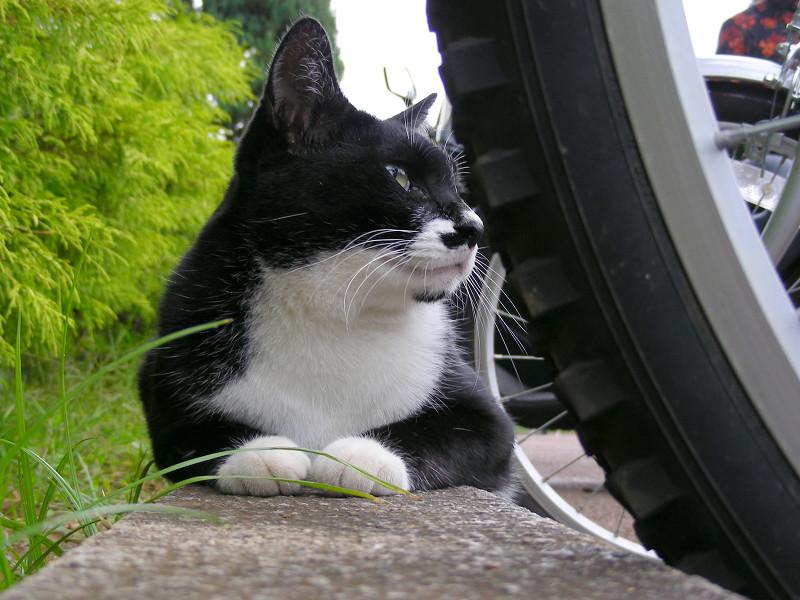 駐輪場の黒白猫3