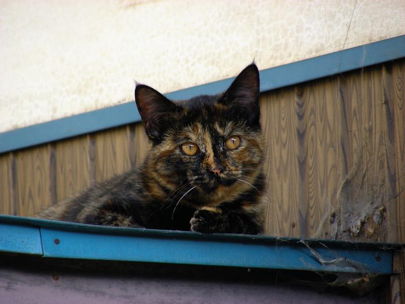 小さな庇とサビ柄猫3