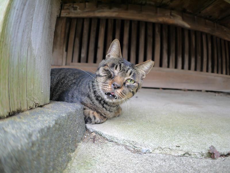 片目を閉じてるキジトラ猫1