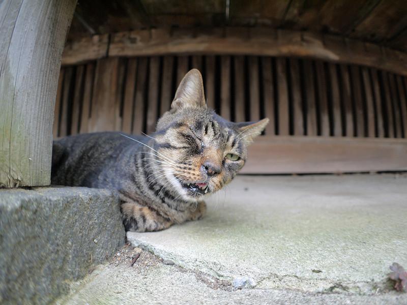片目を閉じてるキジトラ猫3
