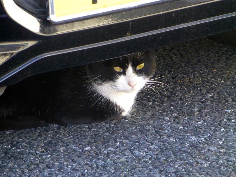 車の下の黒白猫