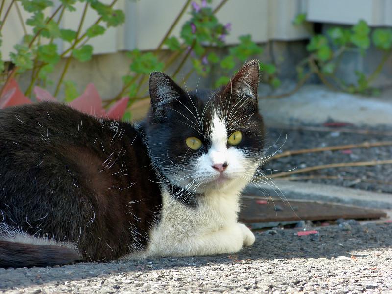駐車場の黒白猫の睨み顔1